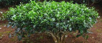 cd front 330x140 - Масло чайного дерева его свойства и применение